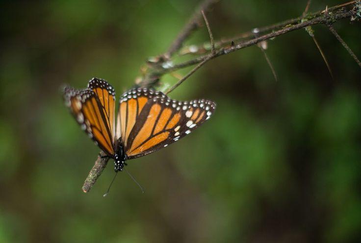 Desde el 1 de noviembre se registra el arribo de la mariposa Monarca a los bosques templados del Estado de México, en los municipios de San José del Rincón, Temascalcingo, Donato ...