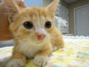 Frita Lae is an adoptable Domestic Medium Hair - Orange And White Cat in Pulaski, TN. Frita Lae was found at the local Frito Lay factory covered in black oily substance and covered in fleas.  She has ...