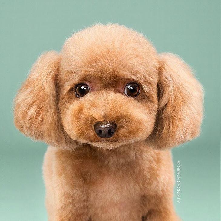 cortes de cabelo canino