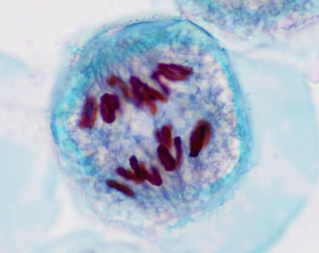 Meiosis 1  definition of Meiosis 1 by Medical dictionary