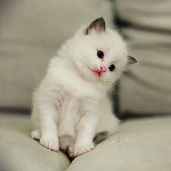 What A Super Cute White Fluff Ball Ragdoll Kitten Kittens