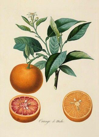 Oranges   Botanical illustrations   Pinterest   Orange