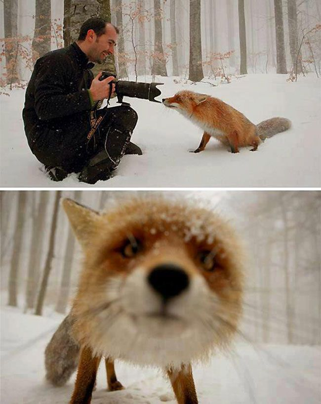Photographers Dan Dinu and Cristian Goga captured this incredible shot of a curious fox taken in St. Ana Lake, Romania. Apparently, the photogenic fox had been raised by a forest ranger, which explains why he was so ready for his close-up.