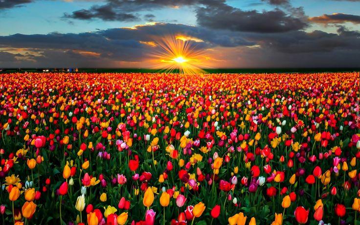 Pole, Tulipany, Zachód Słońca, Chmury