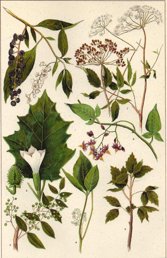 1900s Botanical Print Poisonous Plants Poison Ivy by MyPaperedPast