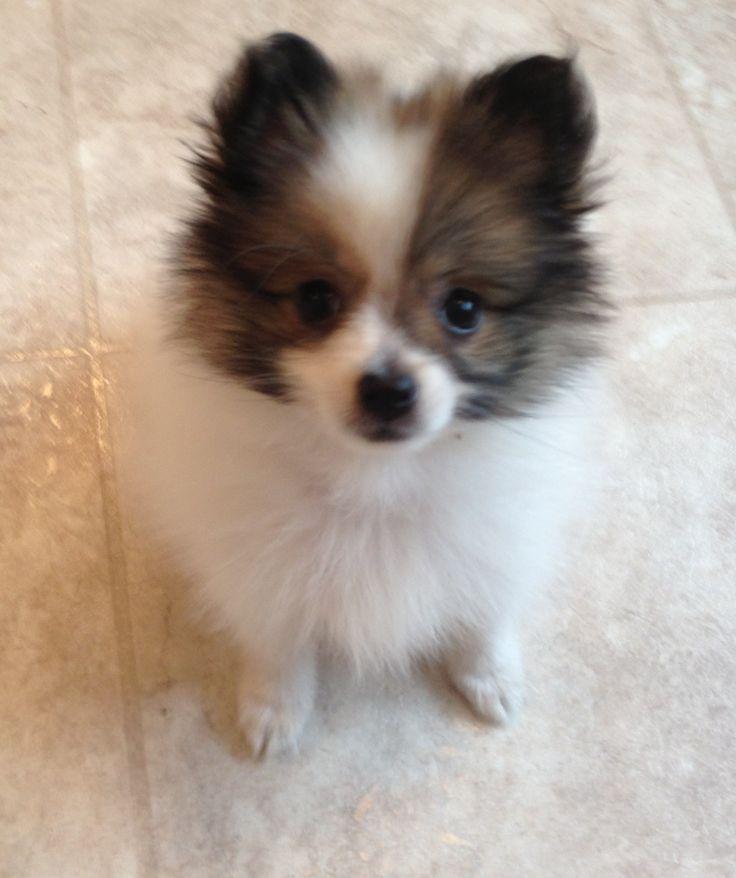 White Pomeranian Baby