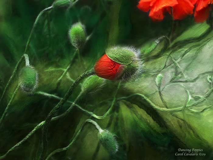 Dancing Poppies  By Carol Cavalaris  Poppies Dancing to their own song In a bizarre and tangled birth As they twist and unfurl And finally bring their gift Of beauty and life to the world. Prose by Carol Cavalaris ©09