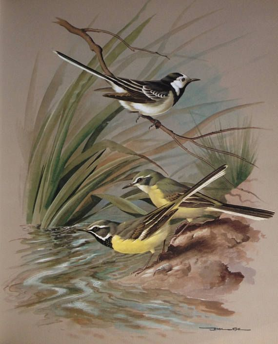 1965 Vintage Print Pied and Grey Wagtails Basil Ede Birds of
