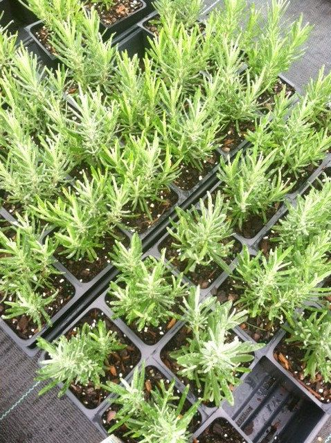 3 Munstead Lavender Plants in 4 Inch Pots