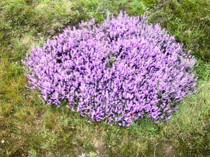 Nieuw heideplantje, op de heide te Blaricum.