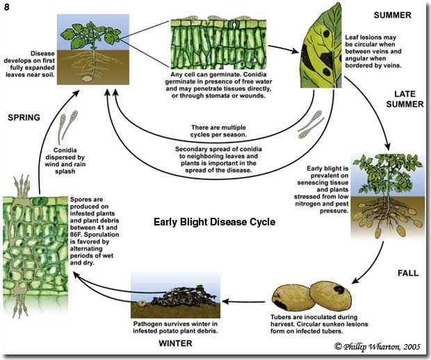 Figure 8. The disease cycle of the early blight pathogen Alternaria solani.