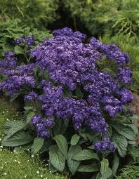 The Garden Heliotrope (Heliotropium arborescens) is a highly fragrant perennial plant, originally from Peru. It is especially notable for its intense, rather vanilla-like fragrance. It is often grown as an annual where not hardy. Its rich foliage and profuse blooms make it a great choice for summer bedding or windowboxes. In warmer climates, grow at the front of a border or in containers outdoors. Care: Provide full sun to light shade and moist but well-drained soil.