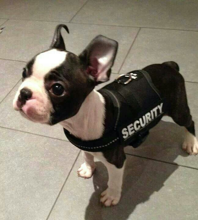 Pin by Pamela McGee on Boston Terriers | Boston terrier ...