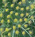 Health benefits of fennel tea: Relieves indigestion, gets rid of bad breath, can be used as an eye wash, relieves constipation and IBS symptoms, stimulates detoxification (and gets rid of water weight), and ... it's an aphrodisiac and PMS-reliever.