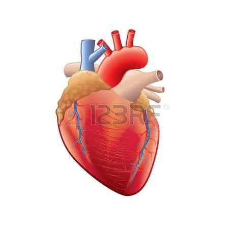 cuore: Anatomia del cuore umano isolato su bianco foto-realistica illustrazione…