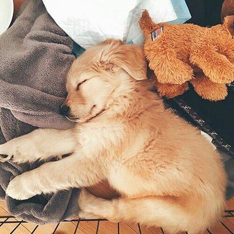 Golden retriever puppy sleeping near stuffed puppy!