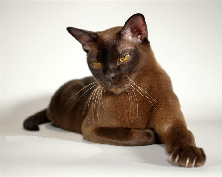 Burma cat. Like my sweet Sam...