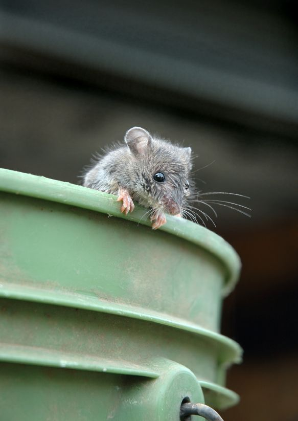 House Mice | House Mice is a commonly used name for field mice or mice in some ...