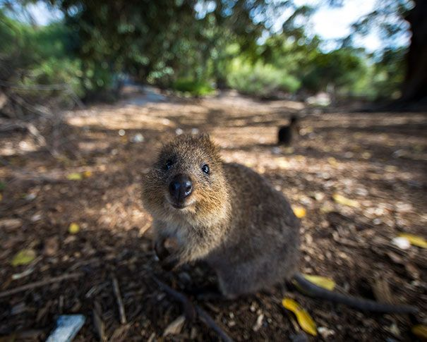 Best Quokka Images On Pinterest Western Australia Wombat And - 15 photos that prove quokkas are the happiest animals in the world