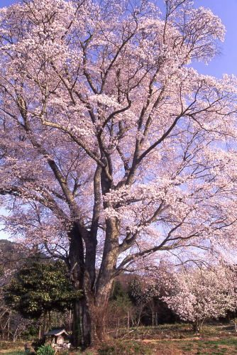 広島県最大の山桜の画像。樹齢400年、庄原市東城町の千鳥別尺。Hiroshima, Japan