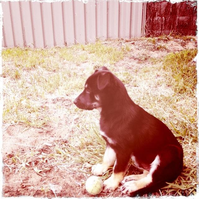 Puppy. New family member Lincoln, Kelpie x Koolie