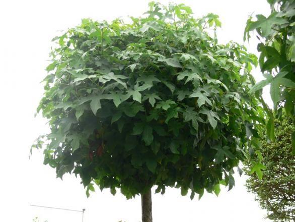 Liquidambar styraciflua 'Gum Ball' (Amberboom bolvorm) De Liquidambar styraciflua 'Gum Ball' staat bekend om zijn mooie en langduurige herfst kleur die van geel naar intents rood gaat. Ook heeft hij als sierwaarde dat hij een prachtige kurkafzetting op de stam en twijg krijgt. De Liquidambar styraciflua 'Gum Ball' is een kleine bolboom en kan prima in de kleine tuin geplaatst worden.