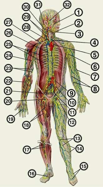 лимфатические узлы;