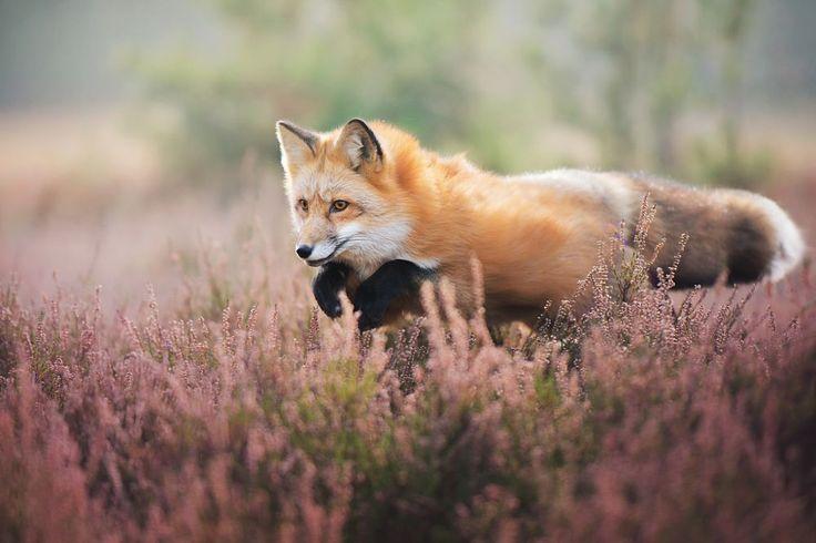 Lavender Fox (Jumping by Iza Łysoń on 500px)