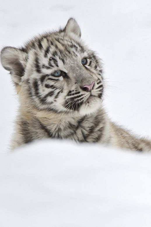 White tiger cub in snow <3  - www.savetigersnow.org  - tigertime.info - www.savewildtigers.org - www.panthera.org/node/1399