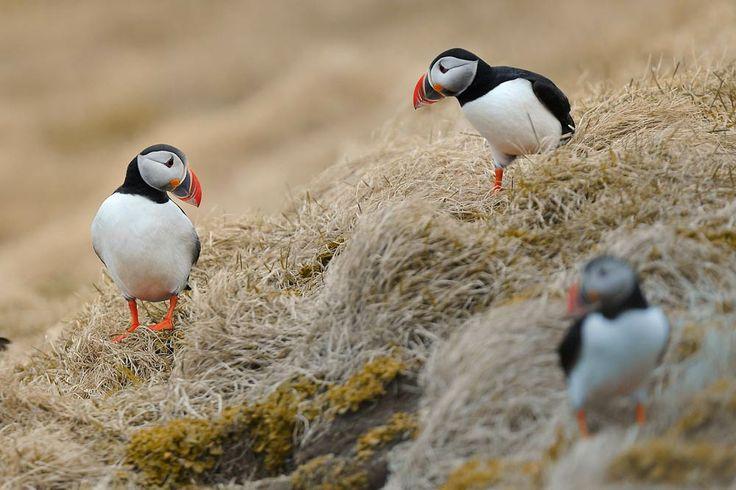 Islanda - Pulcinella di Mare sulle scogliere