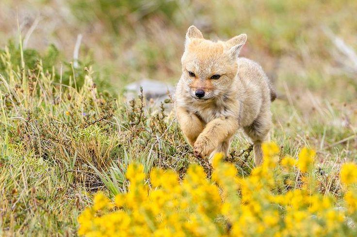 fox , Torres del Paine , patagonia