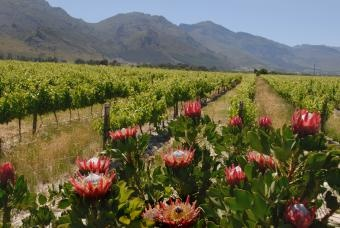 Our national flower, the Protea and Franschhoek (french corner ) vineyards