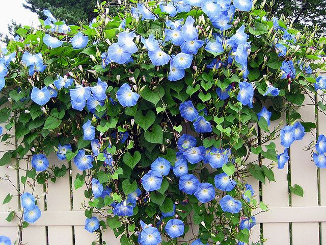 blue morning glories on a white picket fence