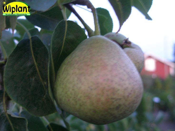 Pyrus communis 'Jukka', Finsk sort från Jyväskylätrakten. Avlånga, gröna frukter under senhösten. Medelstora, saftigt söta frukter. Zon II-III