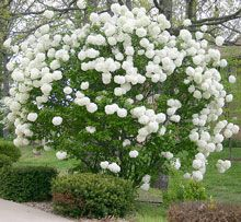 Snowball Virburnum Bush: Incredible white blooms, fast growing and low maintenance. Blooms early spring through mid summer. Has berries in the fall for the birdies. The flowers remind me of pom poms.