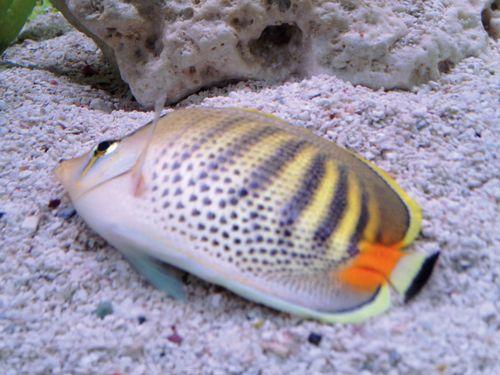 13 best sick betta fish images on pinterest sick betta for Freshwater fish parasite identification