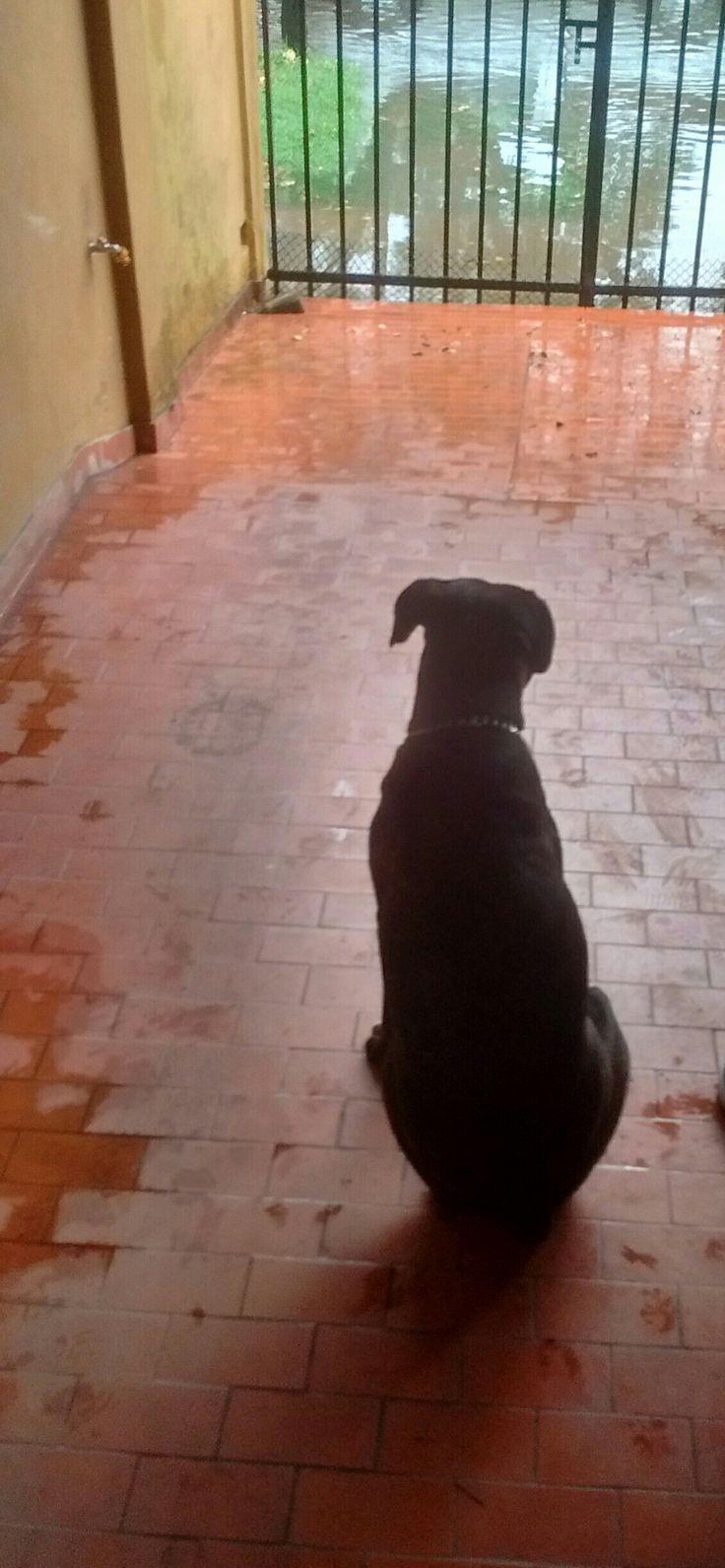 Rocco 🐶 #BoxerAtigrado