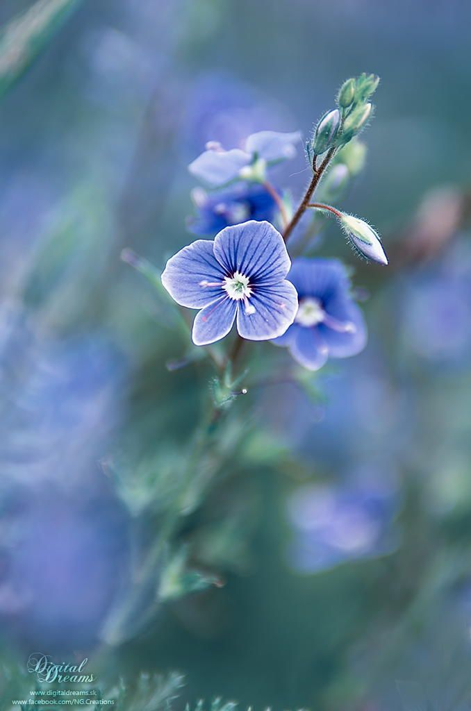 Veronica persica by Norbert G on 500px
