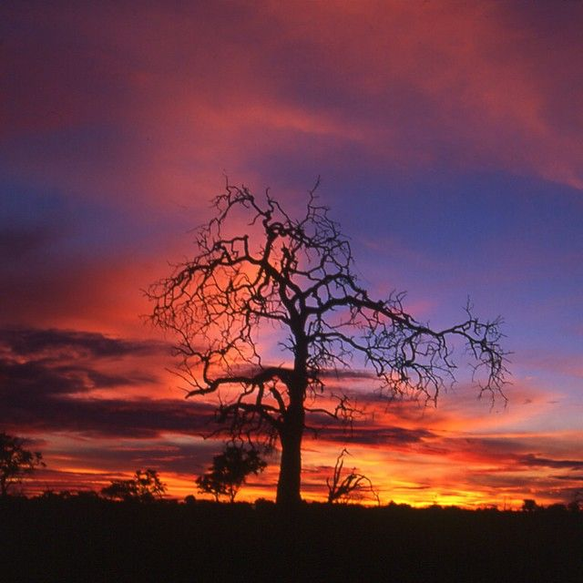 A #Zimbabwe #Sunset near our #PioneersCamp on the #Zambezi. Absolutely amazing colors near the town of #VicFalls.  For info on visiting the camp go to www.wildfrontiers.com  #nofilter #nofilterneeded #tree #africa #beauty #clouds