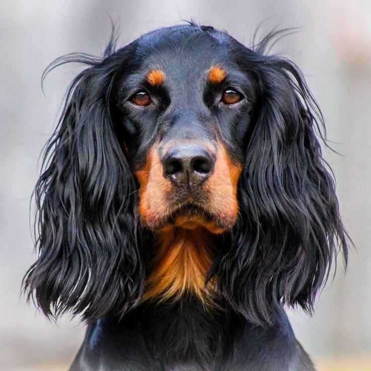 Nora  #lovemysetter #bestfriend #dogsofinstaworld #doglover by svartkulpen