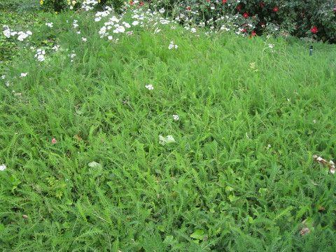 Achillea millefolium (Yarrow) - lawn and slope cover. california ...