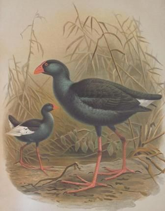 The Pukeko is native to New Zealand. Use this website to research this unique bird.