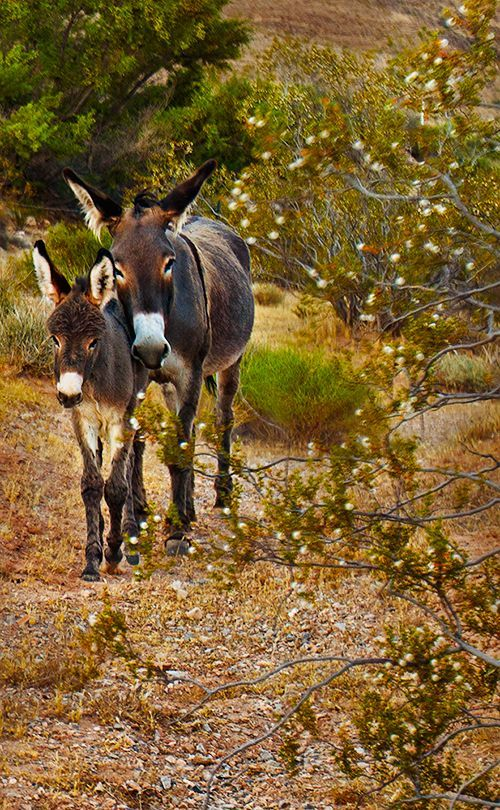 Donkey mother and foal  in Red Rock Canyon #photographytalk #donkey
