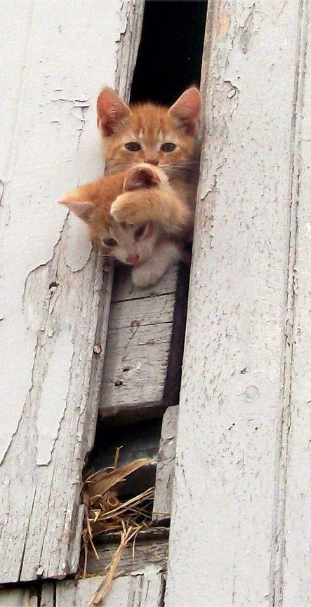 Cats Peeking Out Barn Door
