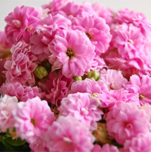 Flores de Kalanchoe cultivado en casa - Kalanchoe flowers grown at home