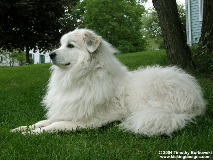 Great Pyrenees<3    I just want this big fluffy dog so badly...