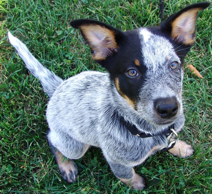 brutus australian cattle dog 12 weeks old blue heeler. Black Bedroom Furniture Sets. Home Design Ideas