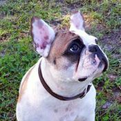 French Bulldog Rescue Network :: Zen in FL