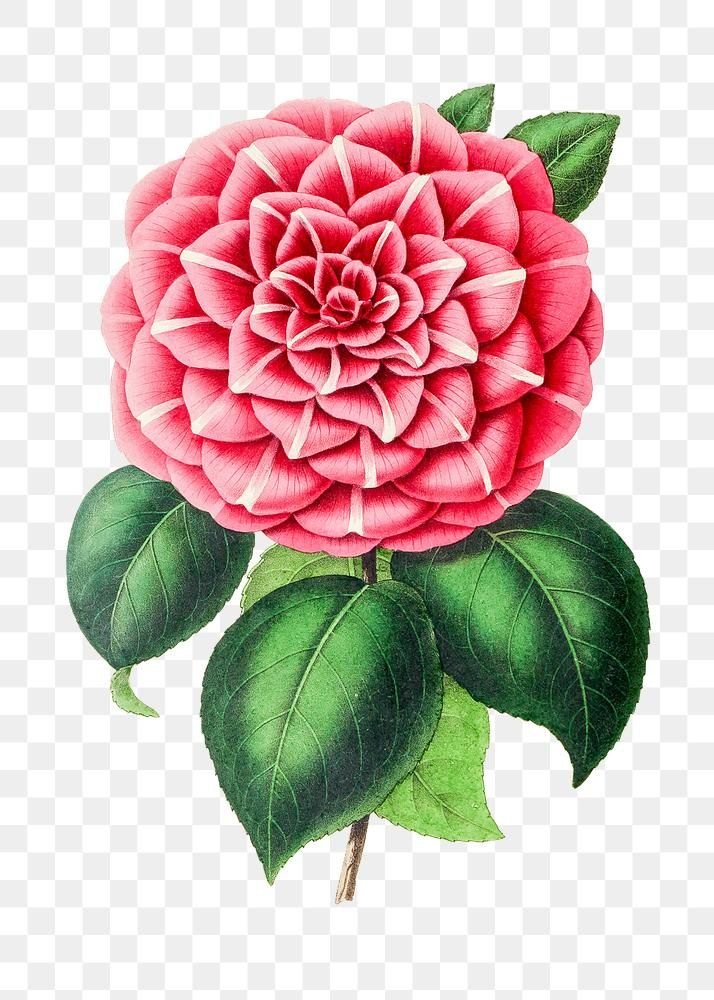 Hand Drawn Pink Camellia Flower Design Element Free Image By Rawpixel Com In 2020 Camellia Flower Design Element How To Draw Hands