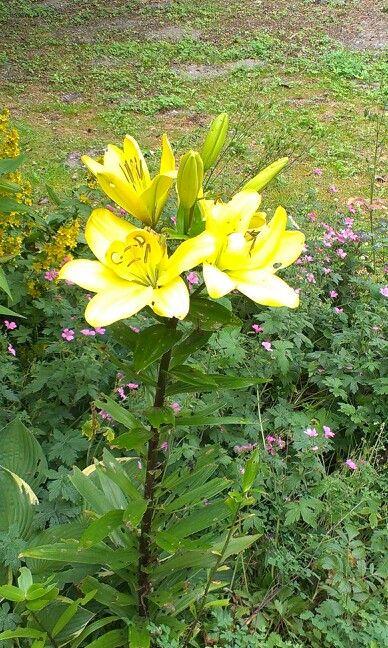 7 blomster på samme stængel..